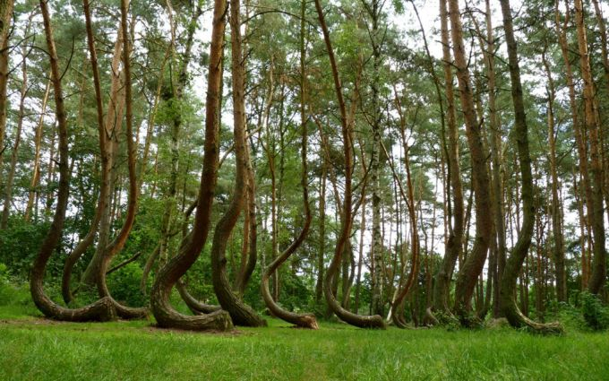 The Crooked Forest - Poland